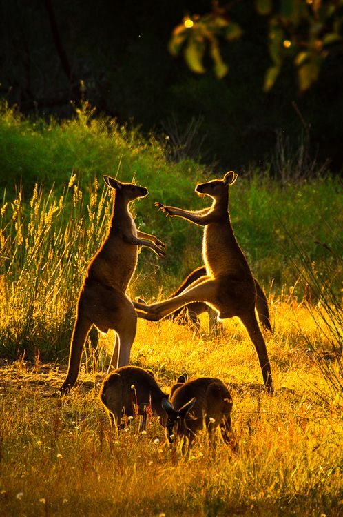 I love how the Roos balance on their tails and kick out with those strong back legs. These ones are probably just having fun.