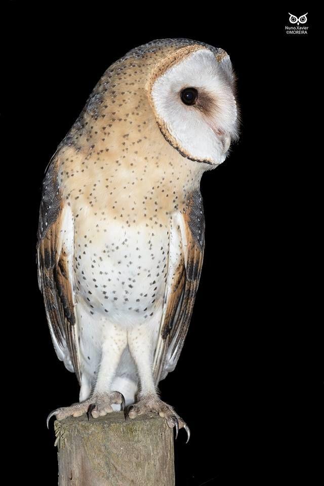 Bubo Torres, barn owl (Tyto Alba)  Rosal de la frontera, Portugal-2016.10.18.