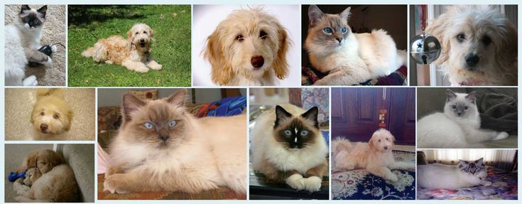 Ragdoll Kittens & Mini Goldendoodle Breeders NY, NJ, CT & MA | Pam's Dollhouse