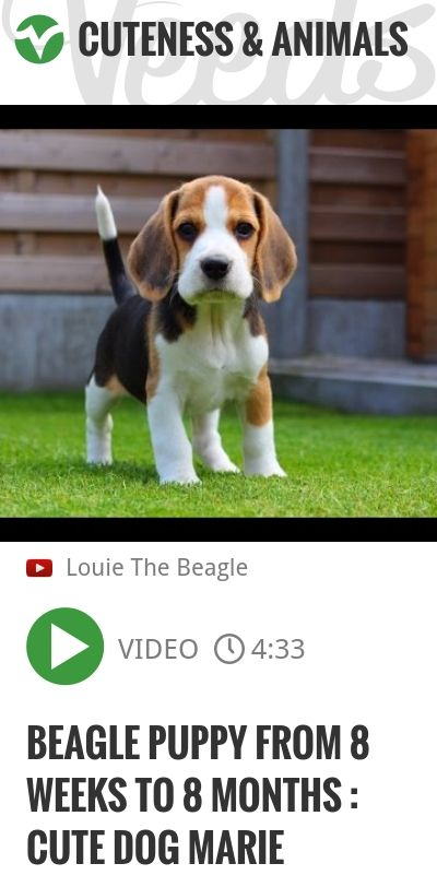 Beagle Puppy From 8 Weeks to 8 Months : Cute Dog Marie | http://veeds.com/i/FkGf9zTwwOViZnuB/cuteness/