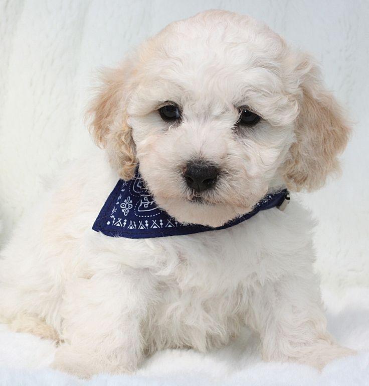 Maltipoo Er et populært Mix af Tecup Malteser og Toy Puddel, Lille allergivenlig hund der ikke fælder, vægt ca. 2-4 kg