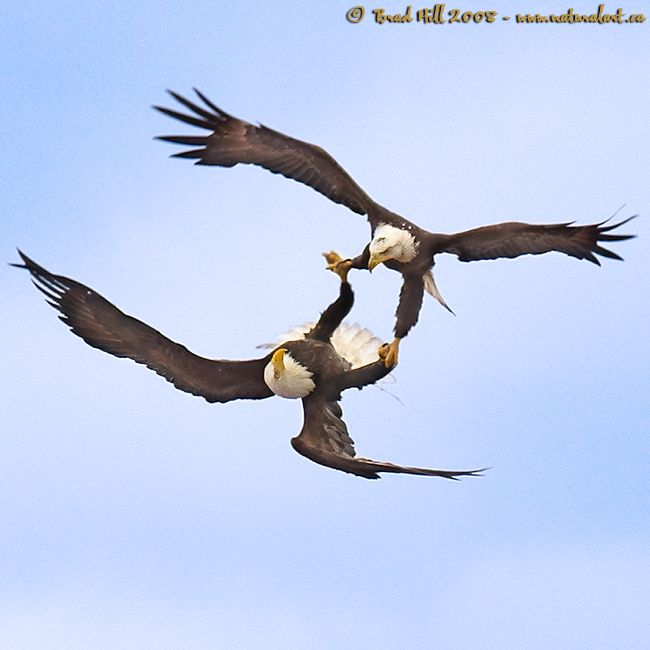 Courtship & Cartwheels 2: The Bald Eagle is the only bird know to be able to fly upside down. After an exhilarating in flight courtship the pair generally mate for life. All courtships should be so exhilarating, don't you think?