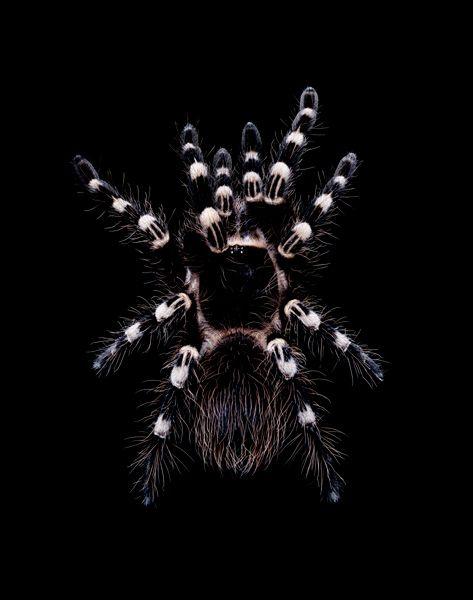 Acanthoscurria geniculata.