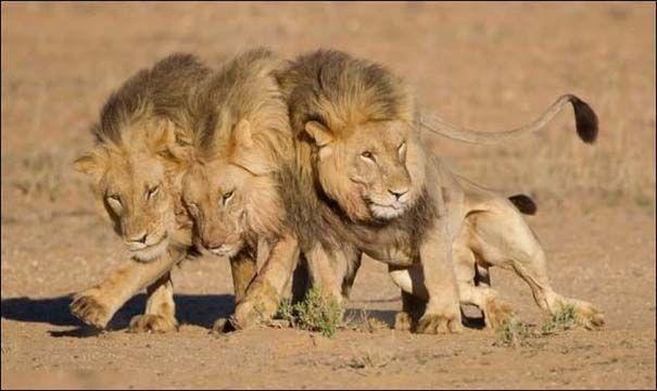 Τρία λιοντάρια κατασπάραξαν κτηνίατρο και τον βοηθό του την Κυριακή σε ζωολογικό κήπο