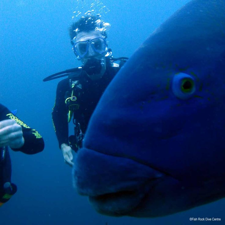 Barry the Wrasse just loves to photo-bomb diver pix. #scuba #diving #underwater #travel #diveplanit