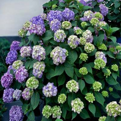 Bloomstruck Hydrangea Paniculata for Sale - Brighter Blooms Nursery