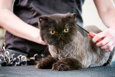Alopecia (Hair Loss) in Cats: Cat Being Groomed