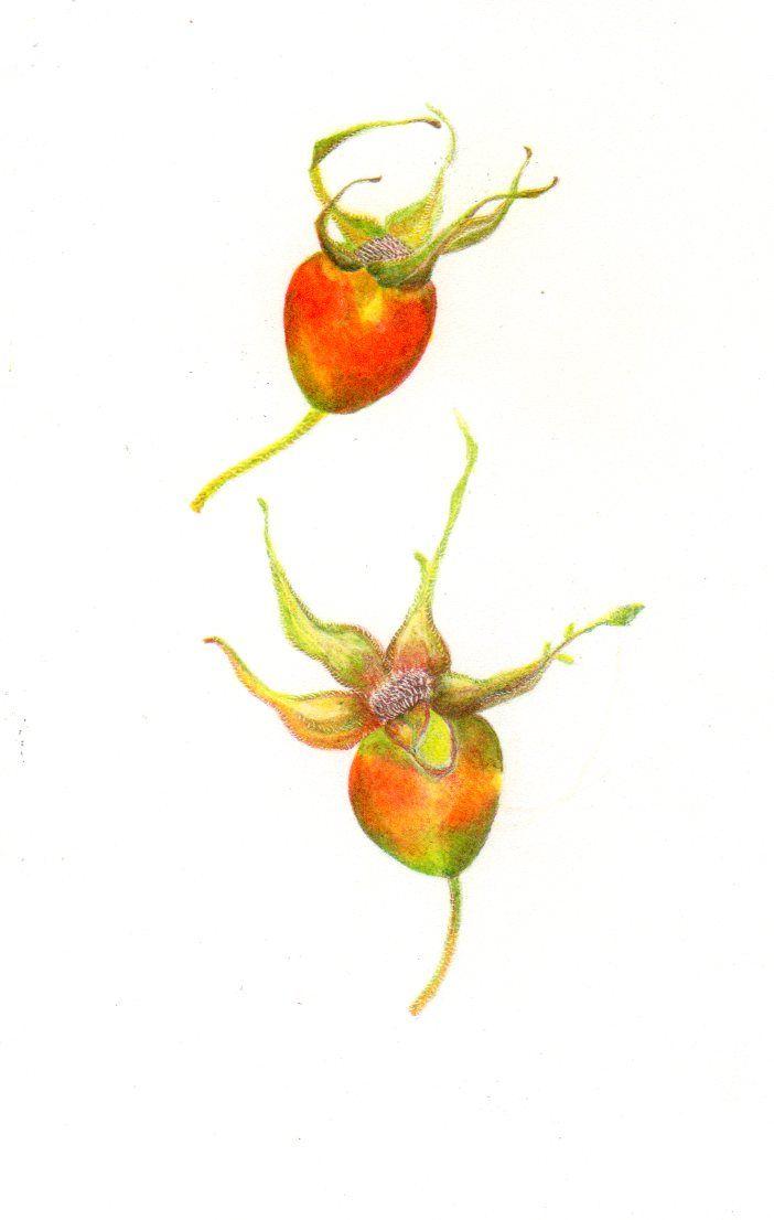 Fruto Rosa Mosqueta, Altos de Vilches, VII Región, Chile