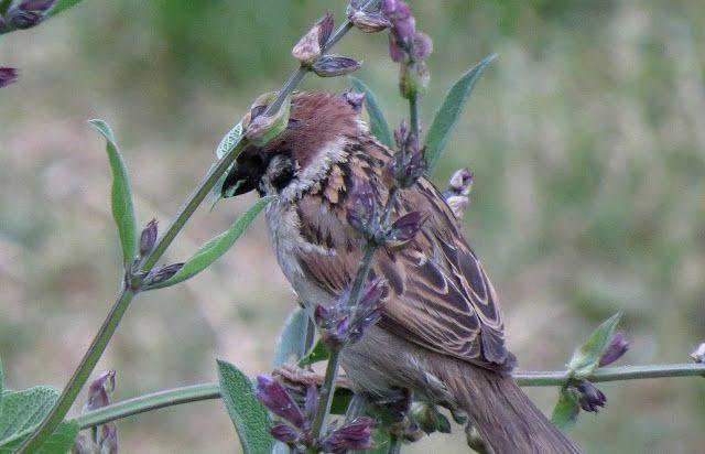 UTRUMQUE: Ptáci na zahradě. Vrabec polní. Šalvěj je léčivá r...