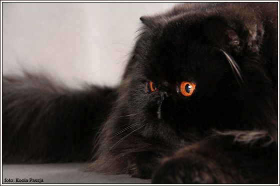 solid persian cats cattery Stan-Bor*PL