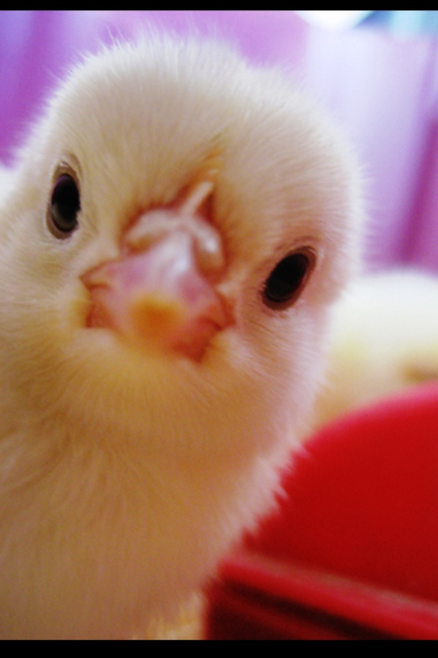 Squishy Fun Baby Chicken : 162 best images about Baby Chick s on Pinterest Eggs, Birds and Baby chicks