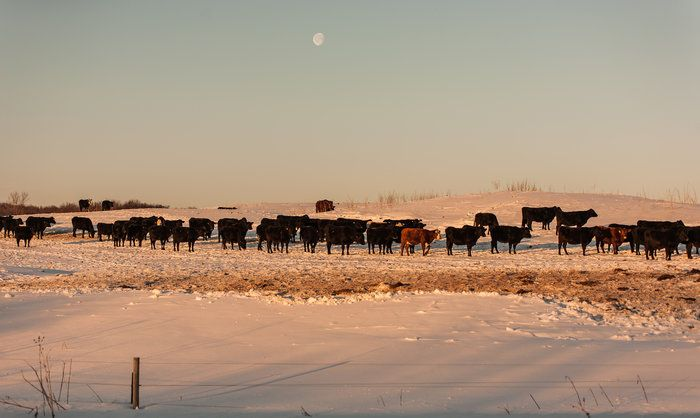The Cattle Call by Michael Aguirre on Capture Minnesota // As the moon sets across the mornings horizon, it's time for the ritual morning feed for the cattle on a frosty morning near Scandia, MN.