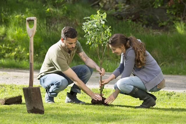 Your 11-Step Guide to Transplanting Trees and Shrubs: When transplanting nursery stock, you'll often be dealing with plants that have been balled and burlapped.