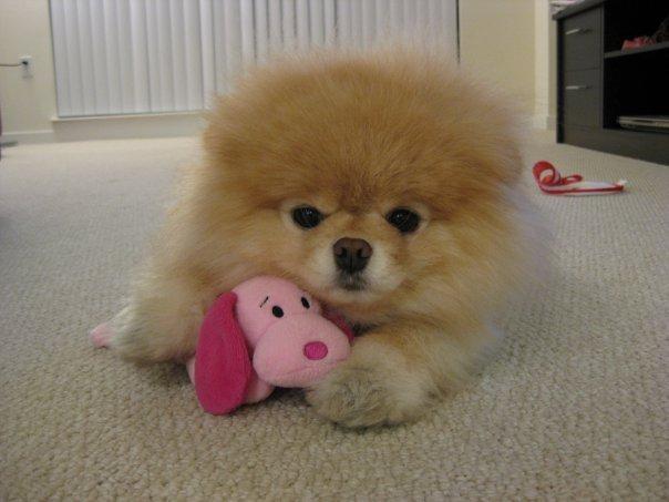 Boo: Der süßeste Hund der Welt hat