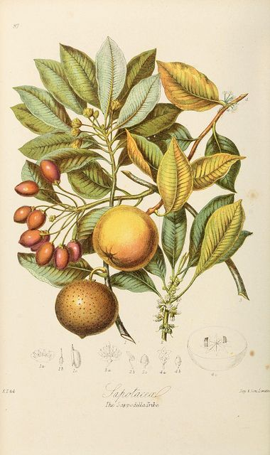 Botancal Illustration | Biodiveristy Library