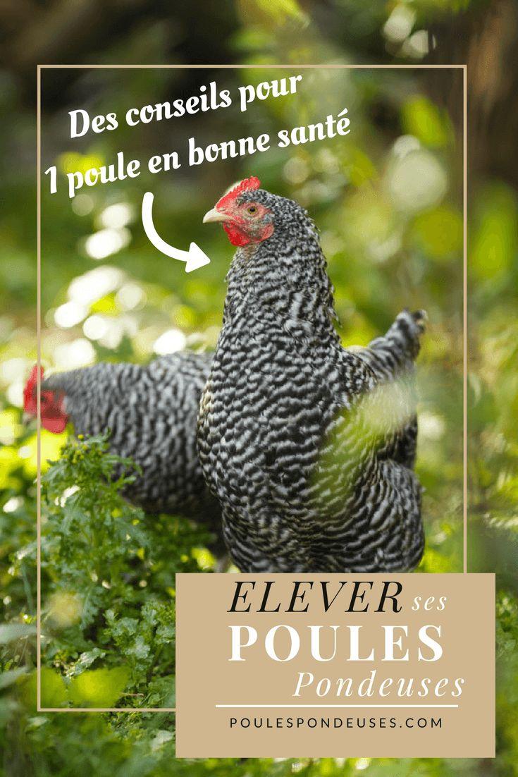 Avantd'acheter des poules, assurez-vous d'abord auprès de la mairie ou du lotissement car il arrive que dans certaines zones urbaines l'élevage de poules soit réglementé. Rassurez-vous, cela reste rare et vous pourrez avoir quelques poules sans mettre à mal les bonnes relations de voisinage! A condition bien entendu de respecter quelques règles de base que nous allons vous expliquer… Êtes-vous prêt pour élever des poules pondeuses ? L'élevage de poules pondeuses, contrairement à d'autres…