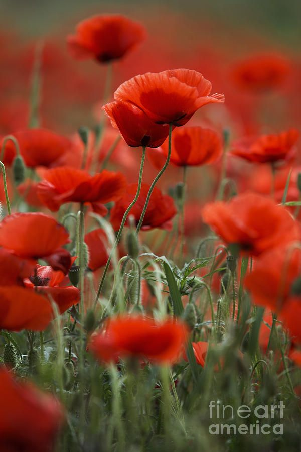 ✯ Red Poppies