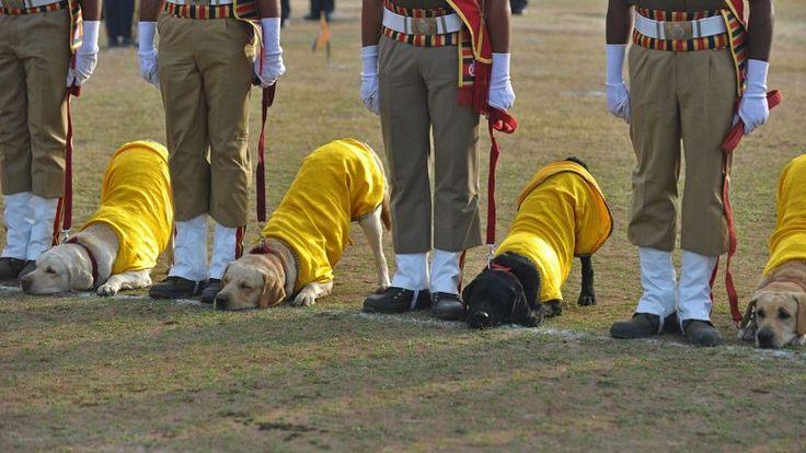 Même les chiens savent faire la révérence en Inde. Lors du défilé de l'armée indienne organisée pour la venue de Barack Obama.