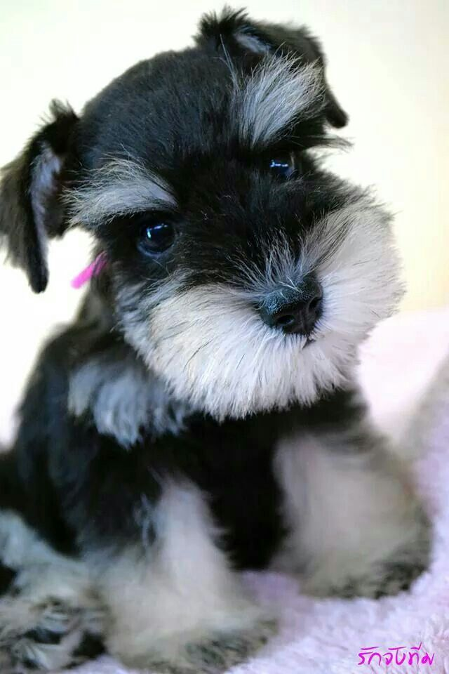 Beautiful schnauzer pup wants to know if you would like to cuddle with her.
