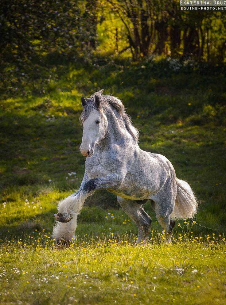 Shire, Ekaterina Druz. Horse, hest, animal, jumpy, grass, grey beauty, beautiful, gorgeous