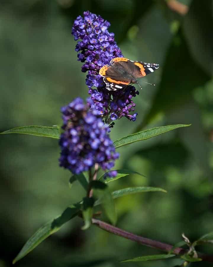 Buddleia and butterfly. Image©K Woodland/K Woodland Photography.