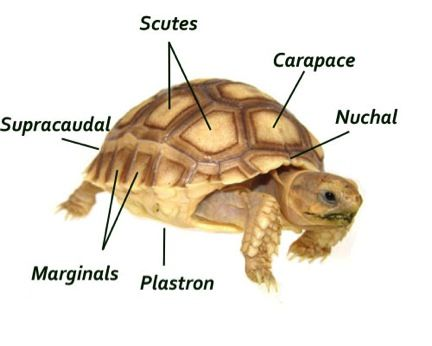Horsefield-Tortoise-Parts-genus-and-biology.jpg (432×346)