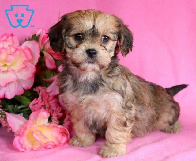 Bella Boo Cavachon Puppies Puppies Cavachon