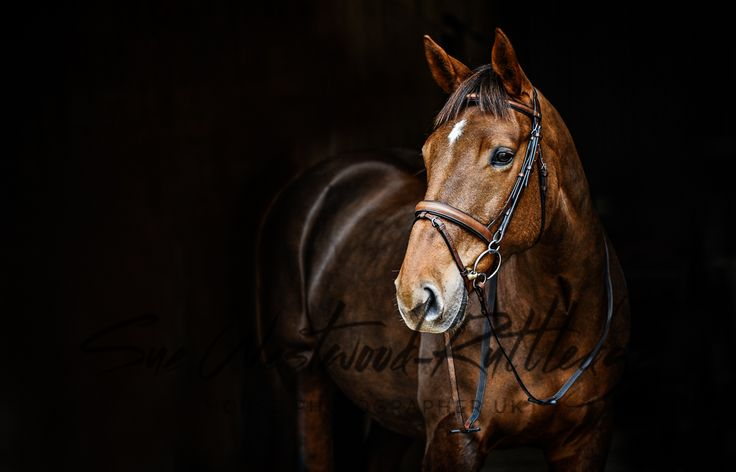 Black Background Horse Portrait My Equine Photography