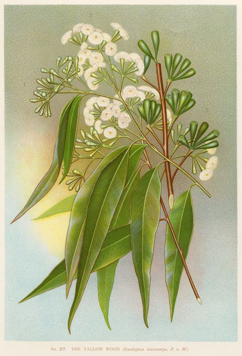Eucalyptus microcorys or Tallow-wood by Edward Minchen (1862-1913)