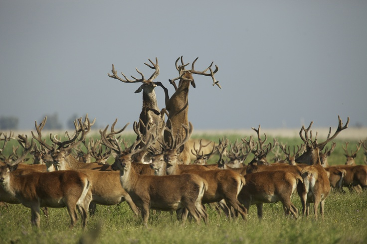 Warring red deers at Oostvaardersplassen - The Netherlands. Picture by Ignas van Schaik.