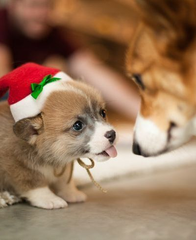 Oh, my goodness. Corgi puppies are the cutest, hands down.