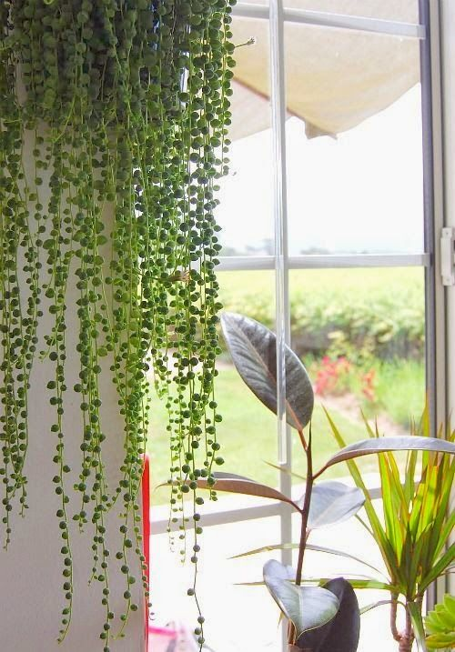 Moon to Moon: House Plant: String of Pearls....wish mine looked like this'