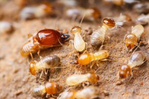 Learn about the different types of termites | Clegg's Termite and Pest Control http://www.cleggs.com/news/learn-different-types-termites/