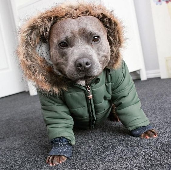 23 Pit Bulls Who Are Already Rocking Their Fall Jackets