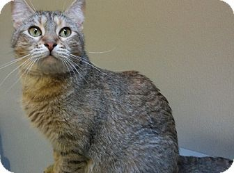 Pictures of ZOE a Domestic Shorthair for adoption in Dallas, TX who needs a…