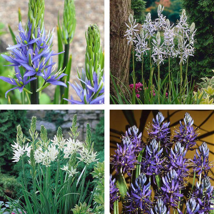 Camassia Bulbs Perennial Wild Hyacinth Spring Flowering Garden Plant Bulbs