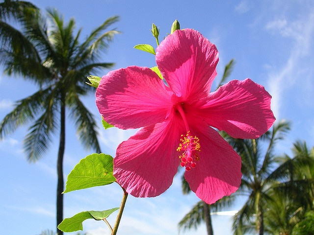 This hibiscus stands as tall as the palms. Honolulu, Hawaii.
