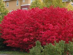 Burning bush -- dark green in summer & red in fall, easy to grow & minimal care, full sun/part shade, 5 ft high, cold & drought hardy, disease resistant, fast growing