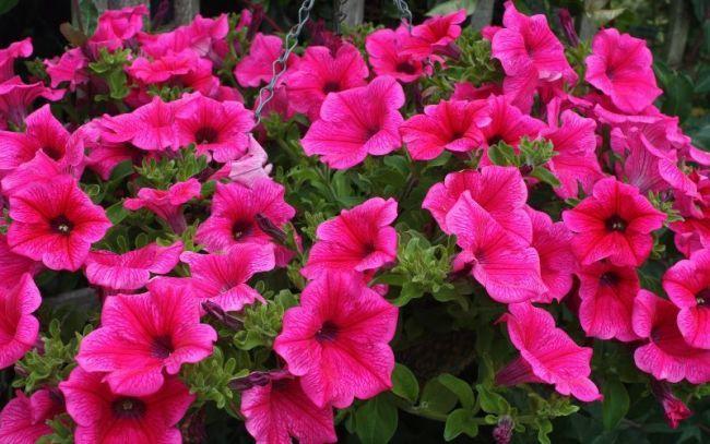 Καλλιέργεια πετούνιες (85 φωτογραφίες): από σπόρους, μοσχεύματα, τους όρους, μυστικά, πότε να φυτέψει, φροντίδα