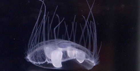 Freshwater Jellyfish | The Nature Conservancy