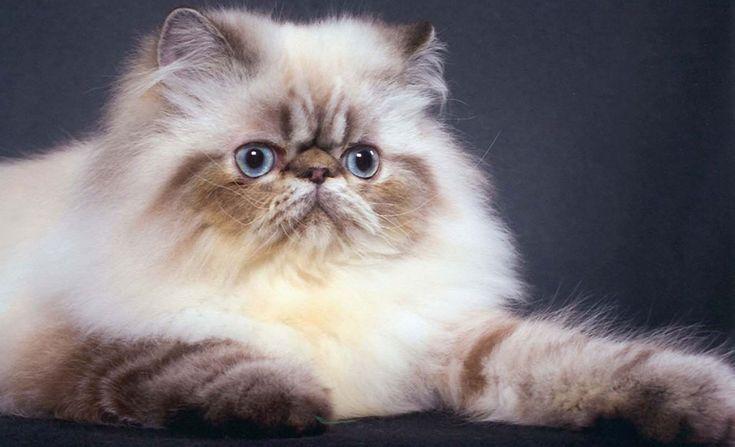 gatos persas 2 animais                                                                                                                                                     Mais