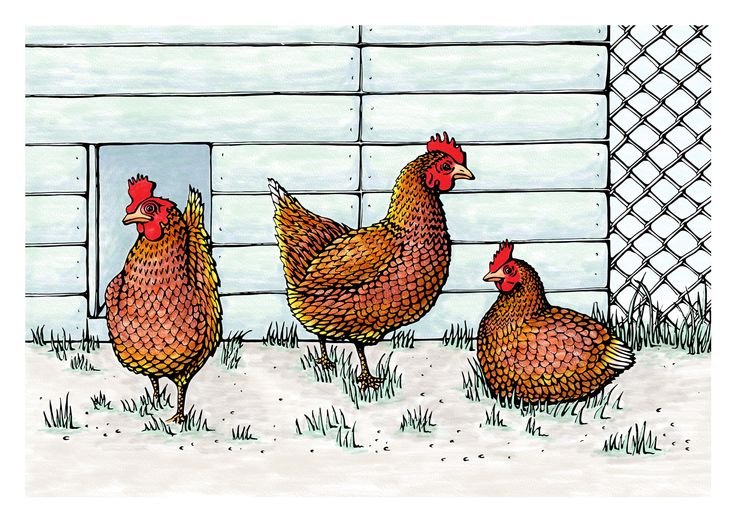 Three Rhode Island Red hens, a popular choice for Irish poultry owners