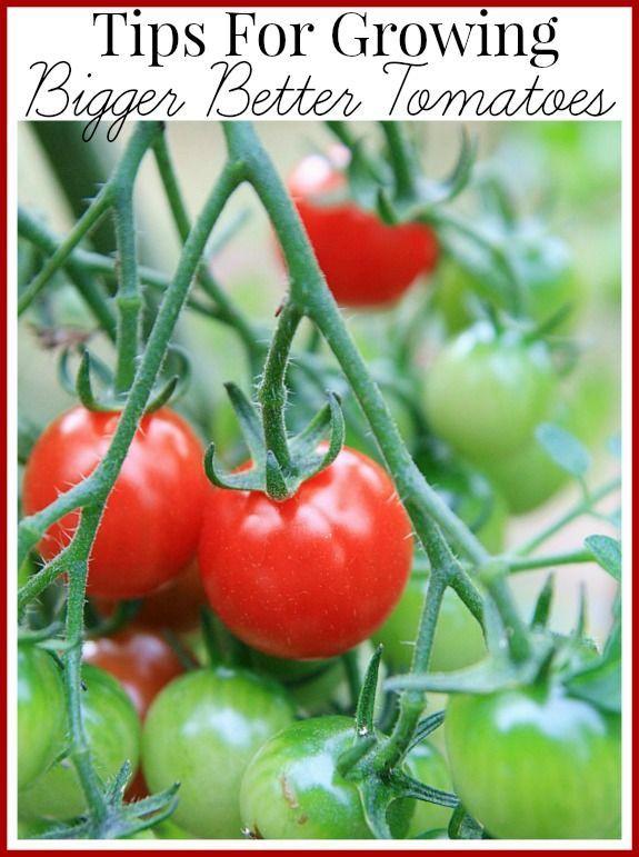 1448 best vegetable gardens images on pinterest backyard for Tomato gardening tips
