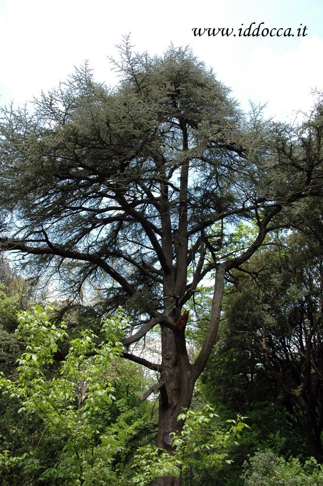 Il parco Aymerich custodisce anche un preziosissimo cedro del Libano!  The Lebanon cedar tree in Aymerich park, Laconi - Sardinia.