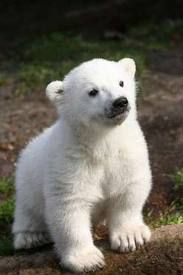 knut polar bear cub