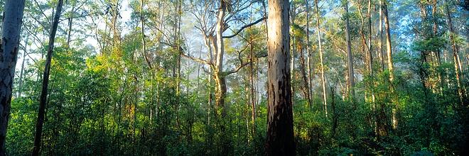Karri Forest, Pemberton Western Australia by Christian Fletcher