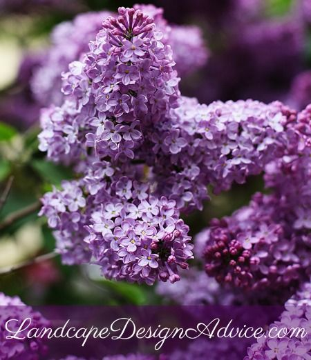 Lilac is a beautiful purple shrub to use in your landscape design. It adds some height which is a nice garden feature. There are shorter ones also, such as 'Miss Kim' with wonderful fragrance, and the repeat bloomer 'Bloomerang'.