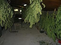 Resultado de imagem para como plantar cannabis