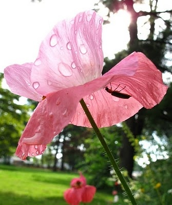 firefly poppy umbrellaNature Photos, Poppies Fireflies, Poppies Umbrellas, Fireflies Poppies, Photos Shared, Flower