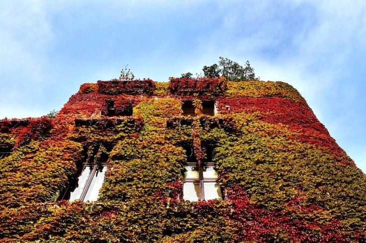 I palazzi di Milano si rivestono dei magnifici colori  dell'autunno: ecco le fotografie di alcuni dei più belli, in viale Majno, via Mozart, via Etna, via Ampere. Le foglie dei rampicanti incorniciano di rosso, verde  e giallo finestre e balconi. Il risultato è spettacolare  Nella foto